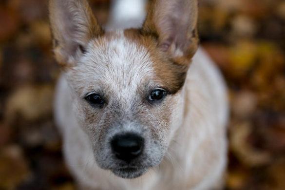 Cattle Dog Dwight Jesień